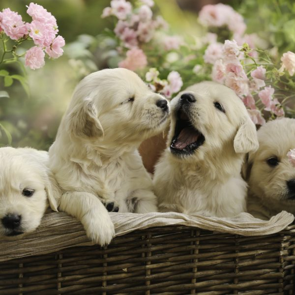 golden-retriever-puppies-in-a-basket-600x600.jpg