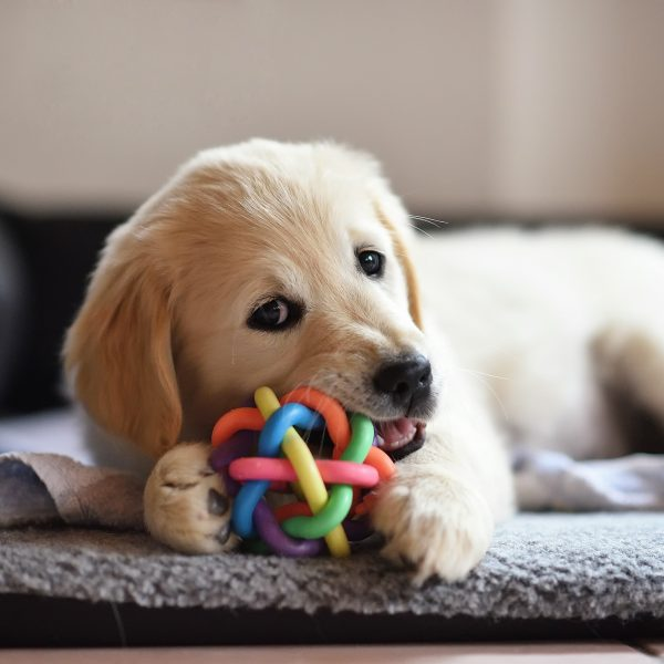 golden retriever puppy chewing on a toy