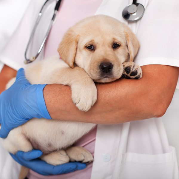 yellow lab puppy held in vet's arms