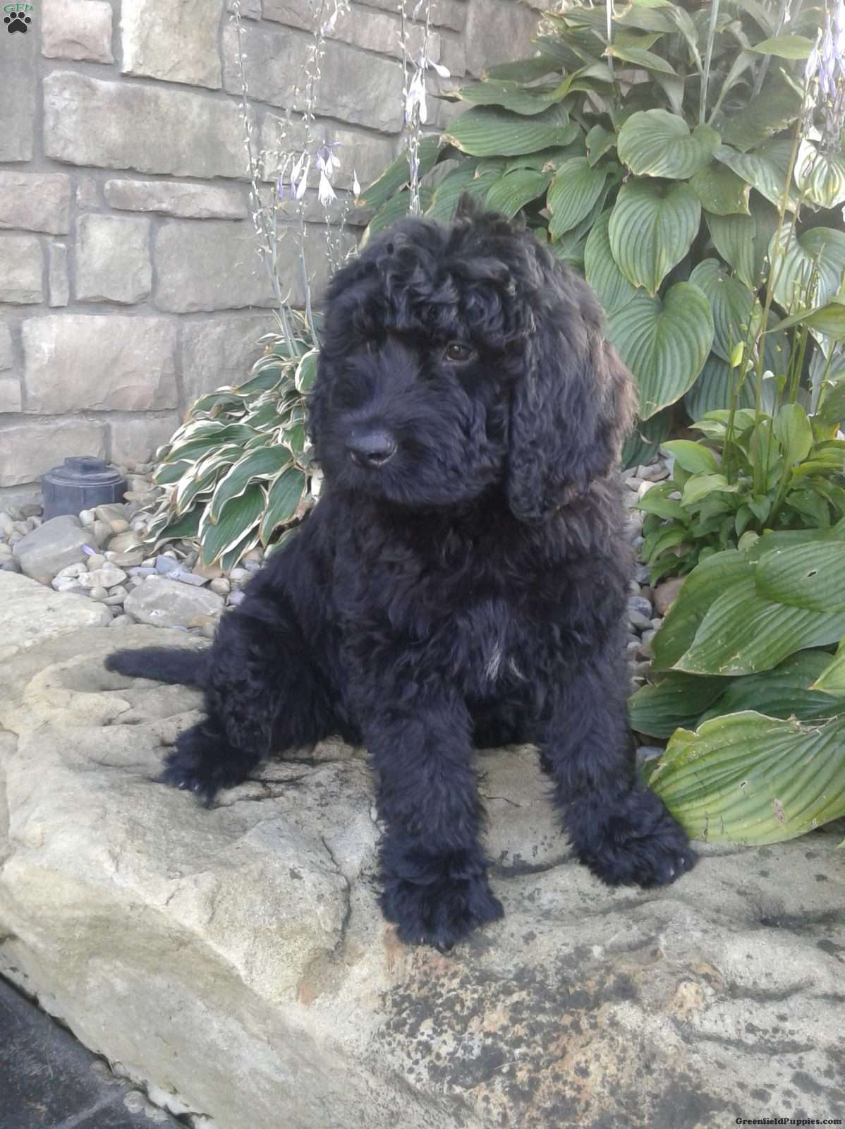 Oliver Newfypoo Puppy For Sale In Ohio