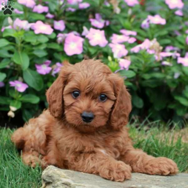 Andy - Cavapoo Puppy For Sale in Pennsylvania