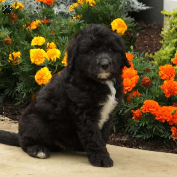 Arlan - Sheepadoodle Puppy For Sale in Pennsylvania