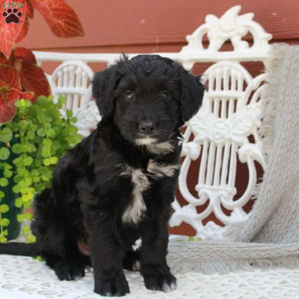 Becca Greater Swiss Mountain Doodle Puppy For Sale In