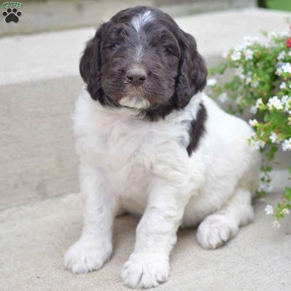 Benji Newfypoo Puppy For Sale In Ohio