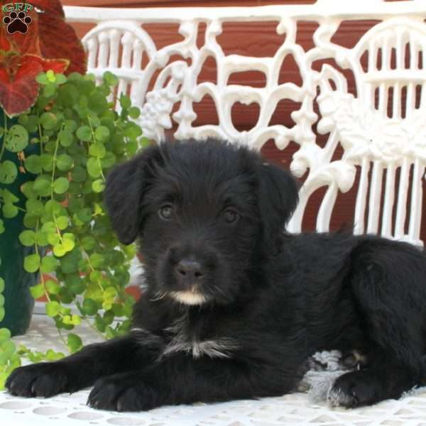 Blossom, Greater Swiss Mountain Doodle Puppy