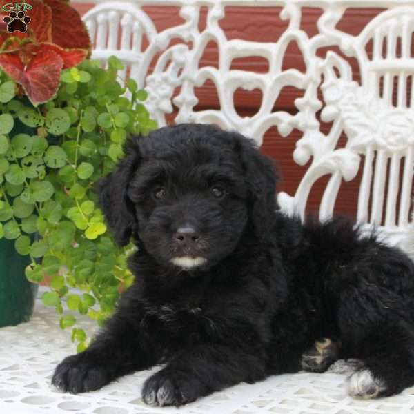 Bubbles Greater Swiss Mountain Doodle Puppy For Sale In