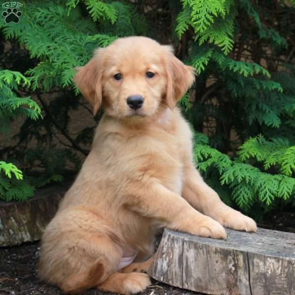 Cheeto, Golden Retriever Puppy