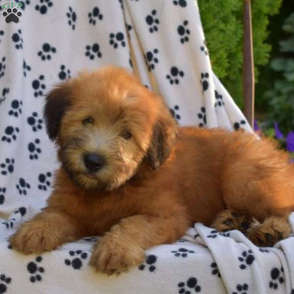 Chester, Soft Coated Wheaten Terrier Puppy