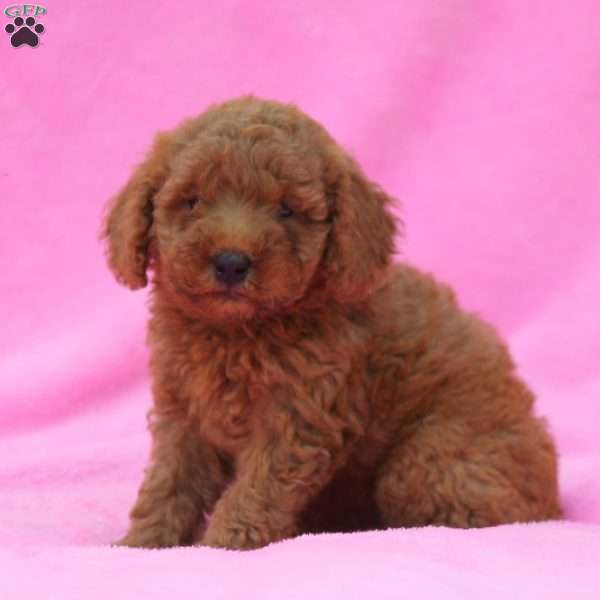Clementine - Mini Goldendoodle Puppy For Sale in Pennsylvania