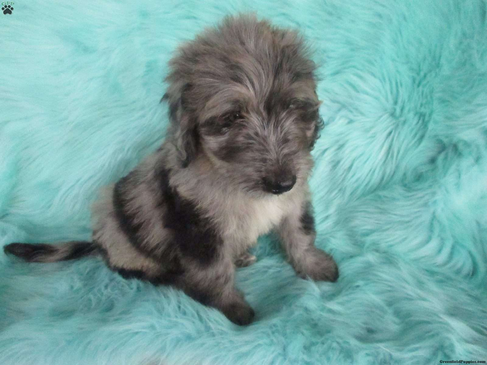 Dakota - Bernedoodle Puppy For Sale in Indiana
