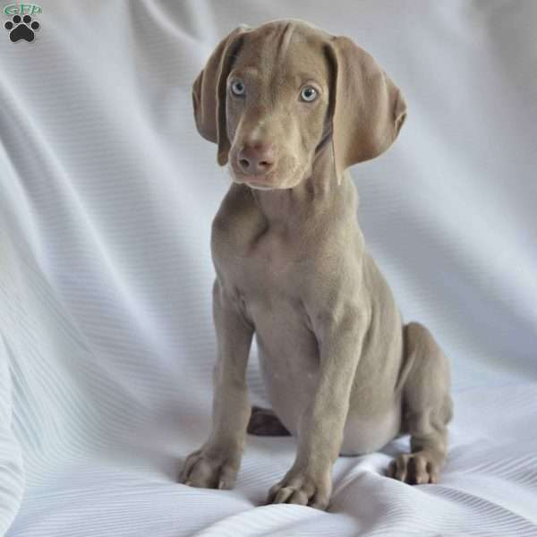 Dakota Weimaraner Puppy For In Ohio