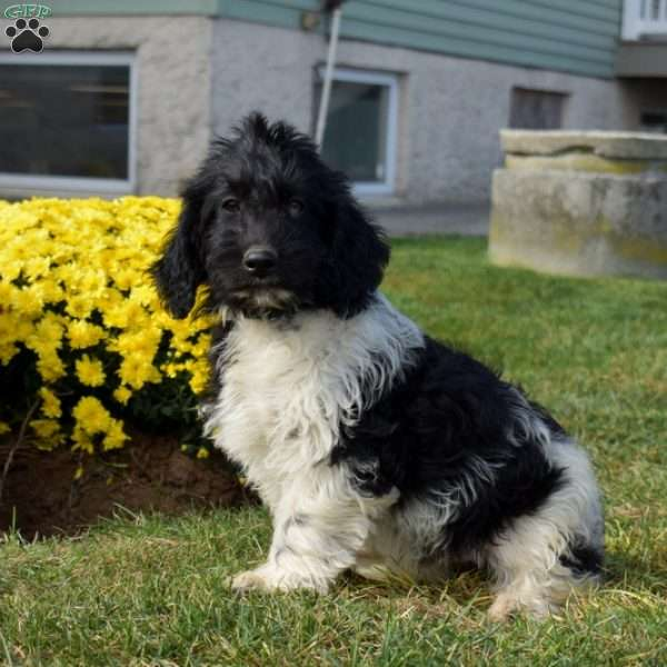 Feather, Mini Labradoodle Puppy