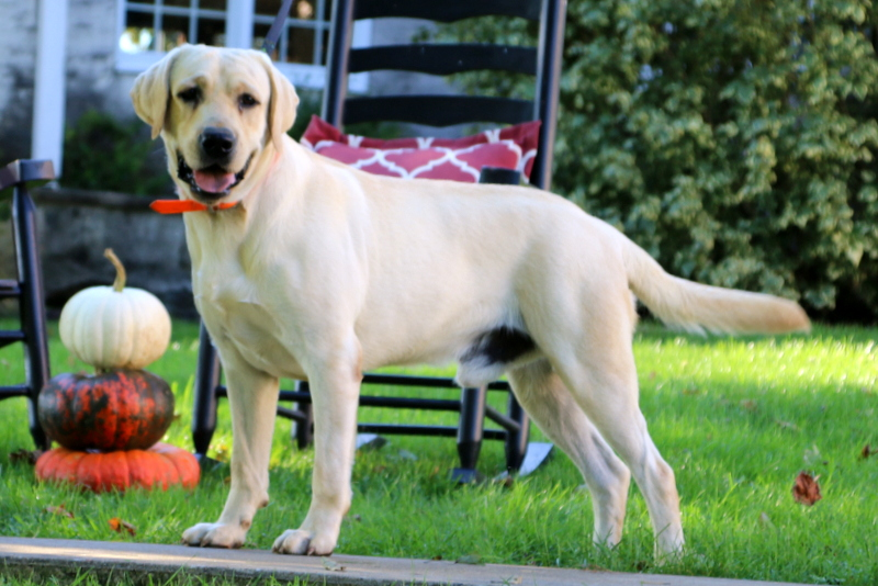 Mitzy - Yellow Labrador Retriever Puppy For Sale in Pennsylvania