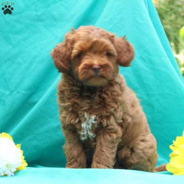 Harley - F2B - Mini Goldendoodle Puppy For Sale in Pennsylvania