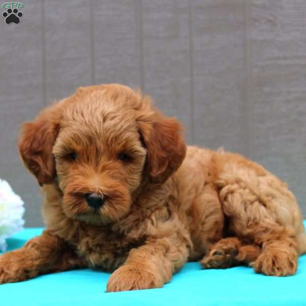 Haven - F2B - Mini Goldendoodle Puppy For Sale in Pennsylvania
