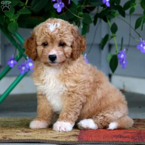 Isabelle – F1B, Mini Labradoodle Puppy