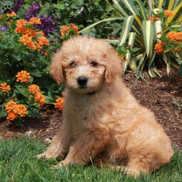 Liam, Mini Labradoodle Puppy