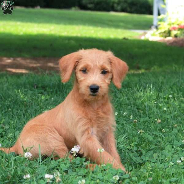 Lucy, Mini Labradoodle Puppy