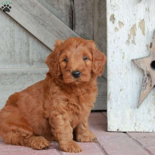 Macy - Mini Goldendoodle Puppy For Sale in Pennsylvania