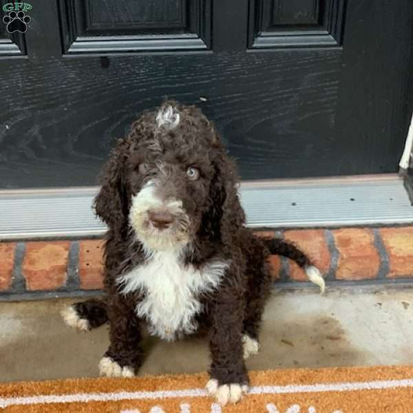 Murray F1b Bernedoodle Puppy For Sale In Pennsylvania