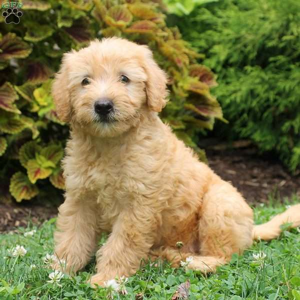 Nelson-F1B, Mini Labradoodle Puppy
