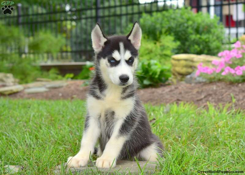 Odessa - Siberian Husky Puppy For Sale in Pennsylvania