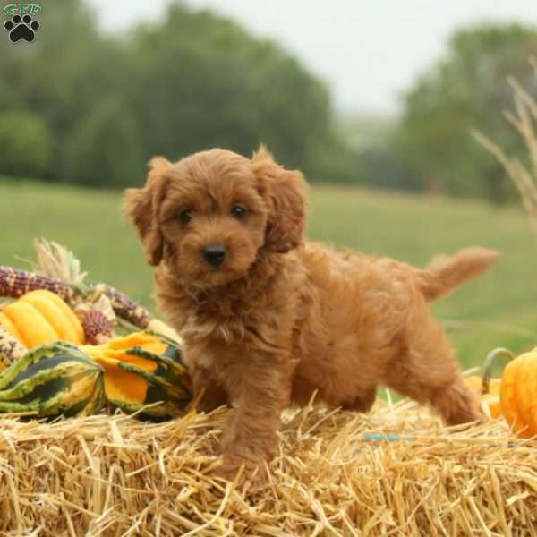 Paige - Cavapoo Puppy For Sale in Pennsylvania