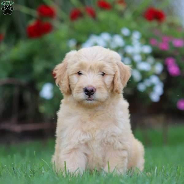 Pearl - Mini Goldendoodle Puppy For Sale in Pennsylvania