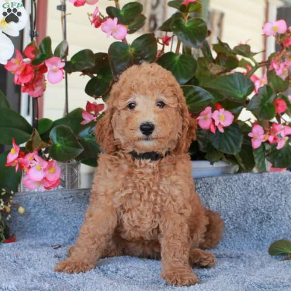 Pet – F1B, Mini Labradoodle Puppy