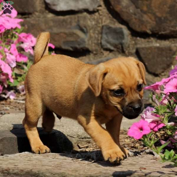 Pickles - Jug Puppy For Sale in Pennsylvania