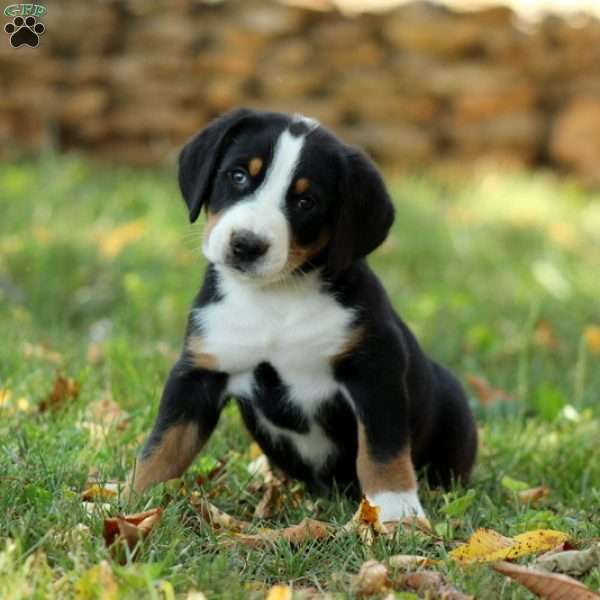 Pike Greater Swiss Mountain Dog Puppy For Sale In Pennsylvania