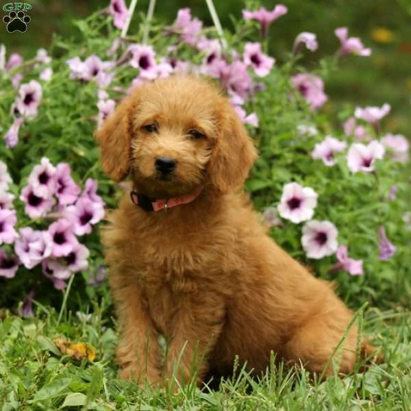 Poppy- F1B, Mini Labradoodle Puppy
