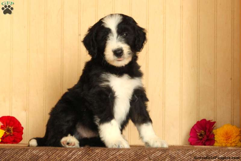 Randy - Bordoodle Puppy For Sale in Pennsylvania