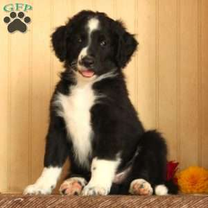 Bordoodle Puppies For Sale Bordoodle Cute Puppies Fur Babies