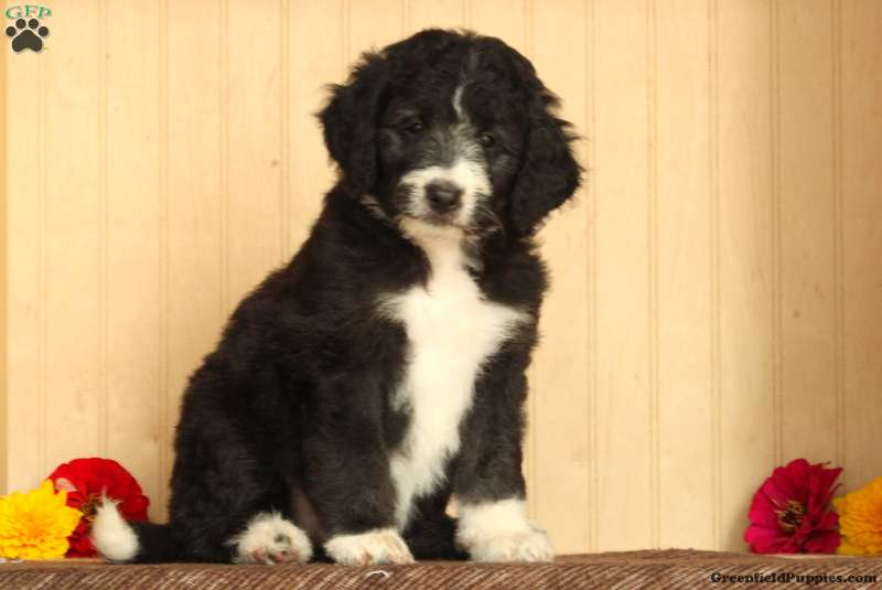 Ruthy - Bordoodle Puppy For Sale in Pennsylvania