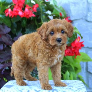 Cavapoo Rescue Texas