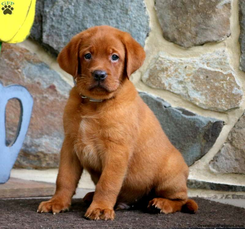 Thomas - Fox Red Labrador Retriever Puppy For Sale in