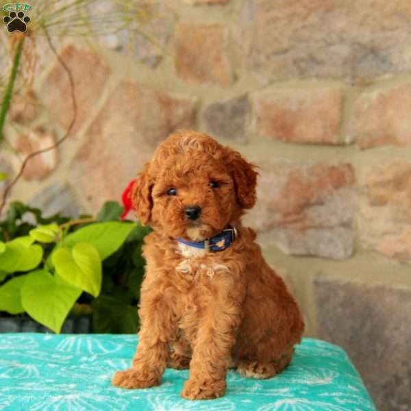 Tilly, Mini Labradoodle Puppy