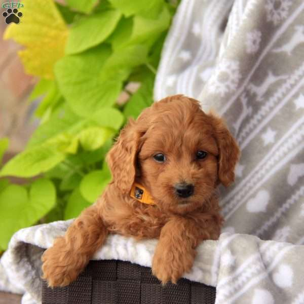 Timbers, Mini Labradoodle Puppy