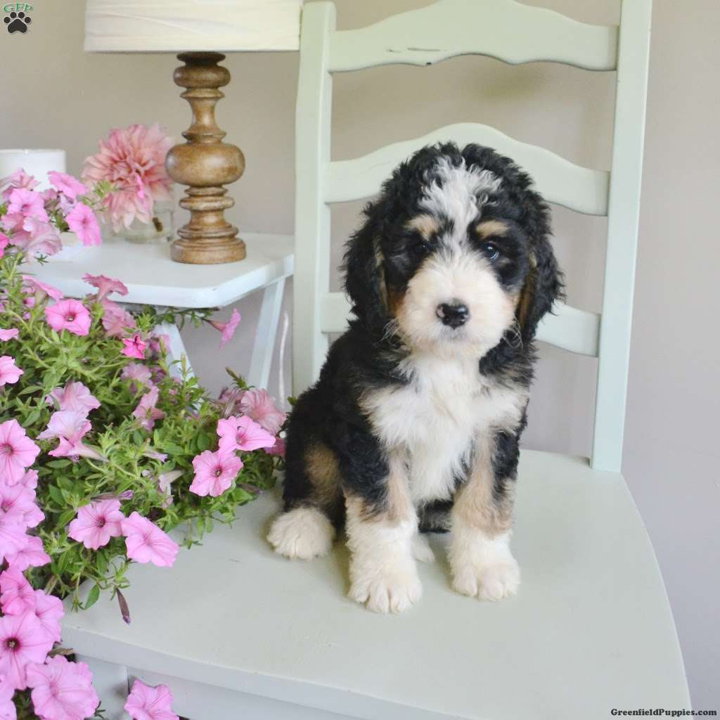 Tulip Bernedoodle Puppy For Sale In West Virginia