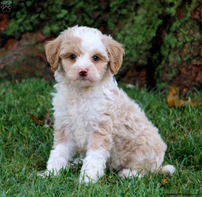 Tyler-Mini - Sheepadoodle Puppy For Sale in Pennsylvania