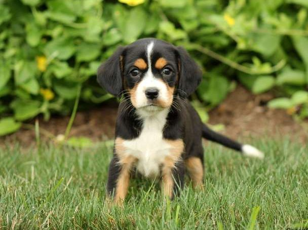 Greater Swiss Mountain Dog Mix Puppies For Sale Greenfield