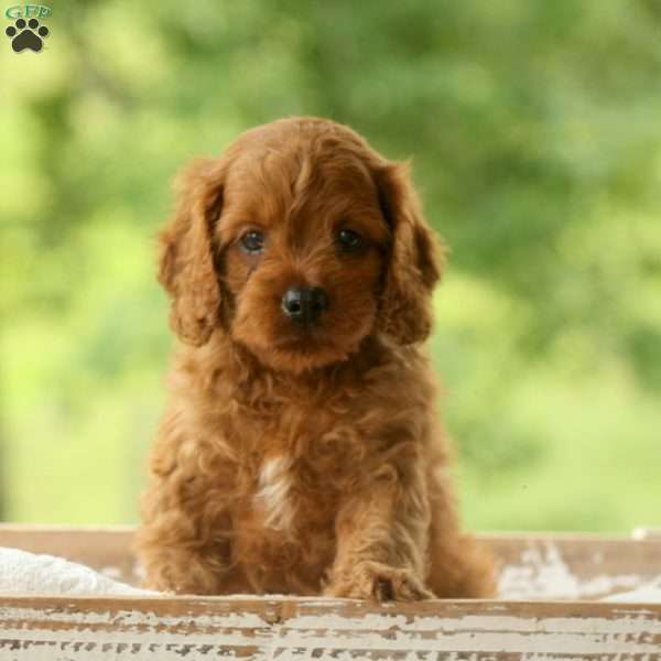 Warby - Cavapoo Puppy For Sale in Pennsylvania