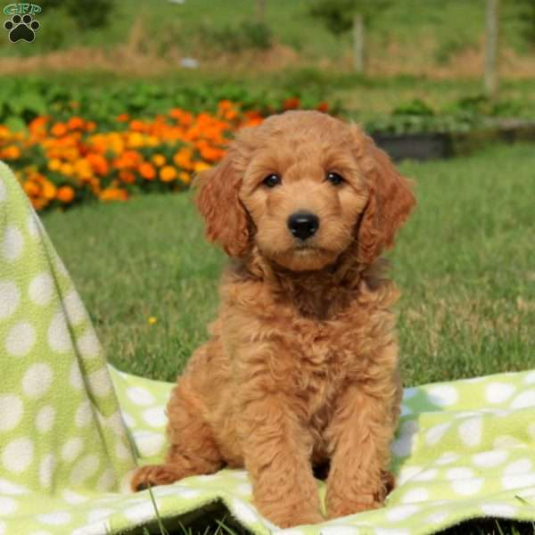 Zip, Mini Labradoodle Puppy