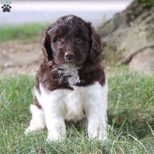 Amber Mini Newfypoo Puppy For Sale In Ohio