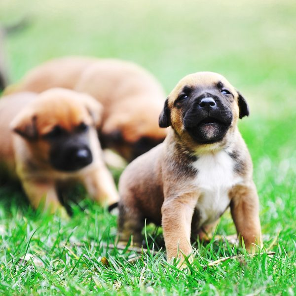 belgian malinois puppies in grass