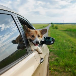 corgi sticking head out a car window