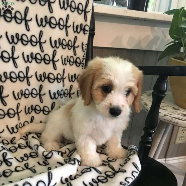 Oscar - Cavachon Puppy For Sale in Ohio
