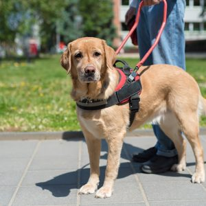 service dog working as a guide dog