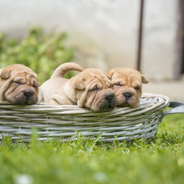 shar pei puppies in a basket